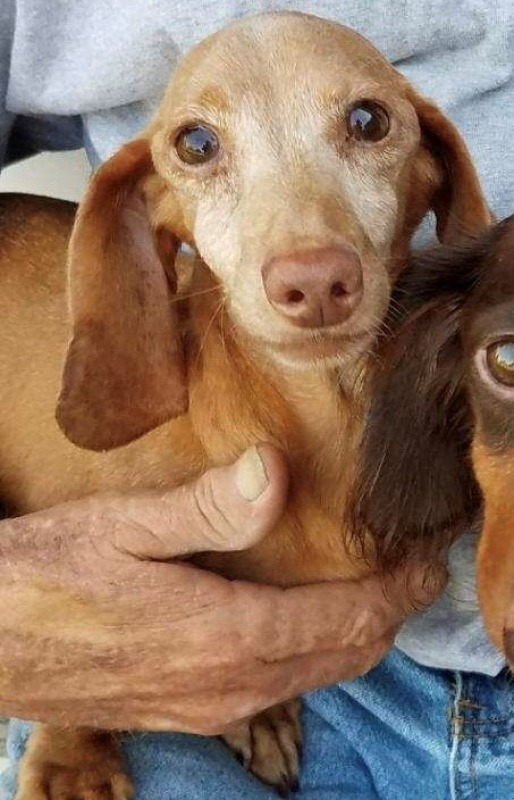 All Available Dachshunds - Dachshund Rescue of North America